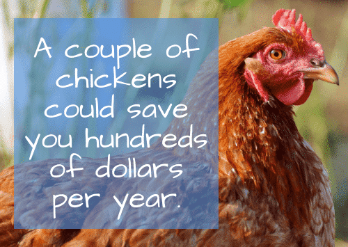 Best place to invest my money - Chickens